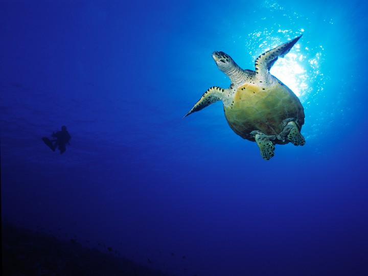 Meet green turtles in Bora Bora waters