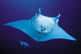 Amazing encounters with the manta rays.